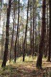 Δάσος πεύκων στην Ταϊλάνδη Στοκ εικόνα με δικαίωμα ελεύθερης χρήσης