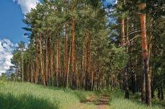 Δάσος πεύκων στη Ρωσία Στοκ φωτογραφίες με δικαίωμα ελεύθερης χρήσης