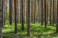 Δάσος πεύκων στη Σουηδία στο θερινό φως του ήλιου στοκ εικόνα με δικαίωμα ελεύθερης χρήσης