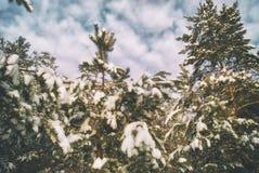 Δάσος πεύκων στις ακτίνες του χειμερινού ήλιου βραδιού Στοκ φωτογραφίες με δικαίωμα ελεύθερης χρήσης