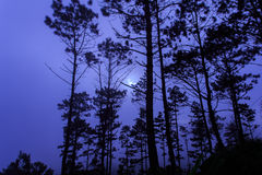 Δάσος πεύκων στο πρωί Στοκ Εικόνες