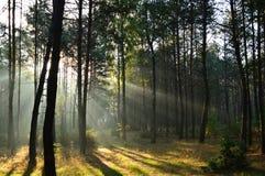 Δάσος πεύκων στο φως του ήλιου πρωινού η υδρονέφωση Στοκ Εικόνες