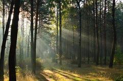 Δάσος πεύκων στο φως του ήλιου πρωινού η υδρονέφωση Στοκ φωτογραφία με δικαίωμα ελεύθερης χρήσης