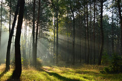 Δάσος πεύκων στο φως του ήλιου πρωινού η υδρονέφωση Στοκ εικόνες με δικαίωμα ελεύθερης χρήσης
