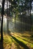 Δάσος πεύκων στο φως του ήλιου πρωινού η υδρονέφωση Στοκ Φωτογραφίες