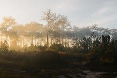 Δάσος πεύκων της Misty σε μια φύση Στοκ φωτογραφία με δικαίωμα ελεύθερης χρήσης