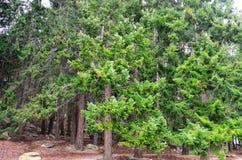 Δάσος πεύκων του FIR Ντάγκλας Queenstown στοκ εικόνες