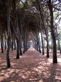 Δάσος πεύκων των δέντρων α πεύκων Στοκ φωτογραφίες με δικαίωμα ελεύθερης χρήσης