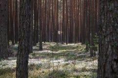 Δάσος πεύκων φθινοπώρου μια θερμή ημέρα στοκ φωτογραφίες