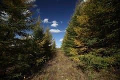 Δάσος πεύκων φθινοπώρου στοκ φωτογραφία με δικαίωμα ελεύθερης χρήσης