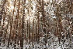 δάσος πεύκων, χειμώνας Στοκ Εικόνες