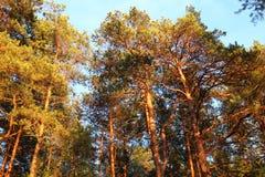 Δάσος πεύκων Στοκ Εικόνα