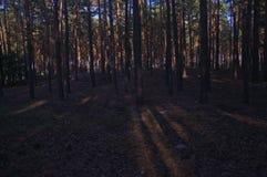 Δάσος πεύκων Στοκ εικόνες με δικαίωμα ελεύθερης χρήσης