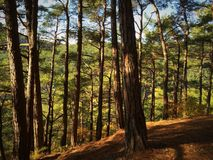 Δάσος πεύκων στοκ εικόνες