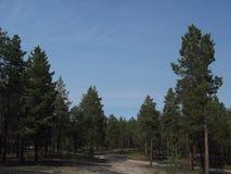 Δάσος 11 πεύκων Στοκ Φωτογραφία