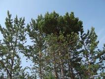 Δάσος 12 πεύκων Στοκ φωτογραφία με δικαίωμα ελεύθερης χρήσης