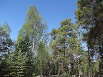 Δάσος 36 πεύκων Στοκ εικόνα με δικαίωμα ελεύθερης χρήσης