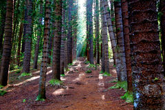 Δάσος πεύκων Enchanted Kauai Στοκ Εικόνα