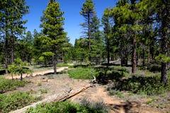Δάσος πεύκων Ponderosa στο εθνικό πάρκο φαραγγιών του Bryce Στοκ εικόνες με δικαίωμα ελεύθερης χρήσης