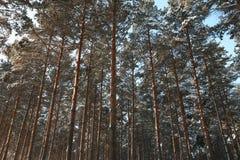 δάσος πεύκων winnter Στοκ Φωτογραφίες