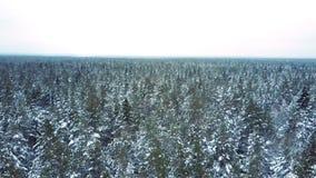 Δάσος που γεμίζουν με τα κωνοφόρα δέντρα κάτω από το σαφή ουρανό απόθεμα βίντεο
