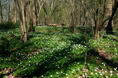 Δάσος που γεμίζουν με τα λουλούδια anemone Στοκ Εικόνες