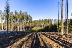 Δάσος που φωτίζεται κωνοφόρο από τον ήλιο πρωινού μια ημέρα άνοιξη στοκ εικόνα