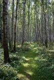 δάσος σημύδων Αυγούστο&upsilo Στοκ Φωτογραφίες