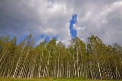 Δάσος σημύδων κάτω από το νεφελώδη ουρανό Στοκ εικόνα με δικαίωμα ελεύθερης χρήσης