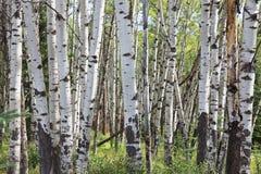 Δάσος σημύδων στην ιάσπιδα Στοκ Φωτογραφία