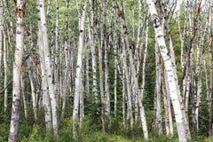 Δάσος σημύδων στην ιάσπιδα Στοκ Εικόνα