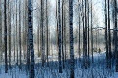 Δάσος σημύδων στο βαθύ Σκανδιναβικό χειμερινό παγετό στοκ εικόνες με δικαίωμα ελεύθερης χρήσης