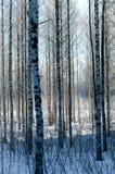 Δάσος σημύδων στο βαθύ Σκανδιναβικό χειμερινό παγετό στοκ φωτογραφία