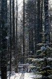 Δάσος σημύδων στο βαθύ Σκανδιναβικό χειμερινό παγετό στοκ φωτογραφίες