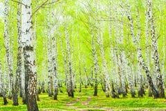 Δάσος σημύδων την άνοιξη στοκ εικόνες