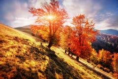 δάσος σημύδων το ηλιόλουστο απόγευμα ενώ εποχή φθινοπώρου Τοπίο φθινοπώρου Ουκρανία στοκ εικόνες