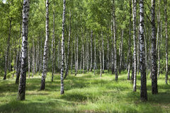 δάσος σημύδων Στοκ εικόνες με δικαίωμα ελεύθερης χρήσης