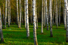 δάσος σημύδων Στοκ Εικόνα