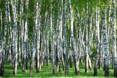 δάσος σημύδων στοκ εικόνες