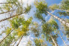 Δάσος σημύδων μπλε ουρανού Στοκ εικόνα με δικαίωμα ελεύθερης χρήσης