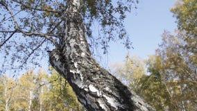 Δάσος σημύδων φθινοπώρου απόθεμα βίντεο
