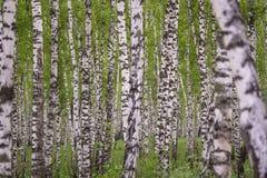 Δάσος σημύδων Στοκ Φωτογραφίες
