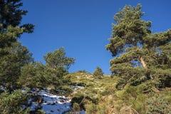 Δάσος σκωτσέζικων πεύκων Guadarrama στο εθνικό πάρκο βουνών Στοκ Εικόνες