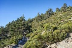 Δάσος σκωτσέζικων πεύκων Guadarrama στο εθνικό πάρκο βουνών Στοκ Φωτογραφία