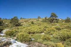 Δάσος σκωτσέζικων πεύκων Guadarrama στο εθνικό πάρκο βουνών Στοκ φωτογραφίες με δικαίωμα ελεύθερης χρήσης
