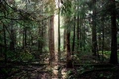 Δάσος στην αυγή Στοκ εικόνες με δικαίωμα ελεύθερης χρήσης