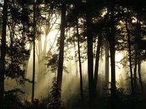 Δάσος στην ομίχλη στοκ εικόνα με δικαίωμα ελεύθερης χρήσης