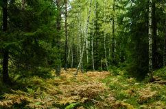 Δάσος στη Σουηδία Στοκ φωτογραφία με δικαίωμα ελεύθερης χρήσης