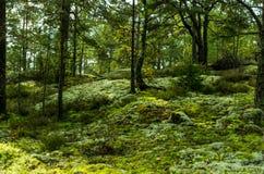 Δάσος στη Σουηδία Στοκ Εικόνα