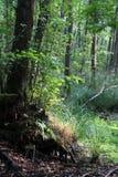 Δάσος στο έλος Στοκ Εικόνες